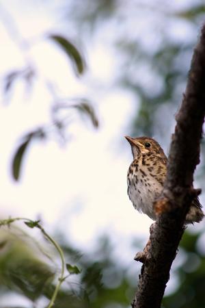 fledgling: Song Thrush Fledgling Stock Photo