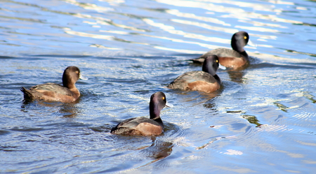 scaup: Group of New Zealand Scaup Stock Photo