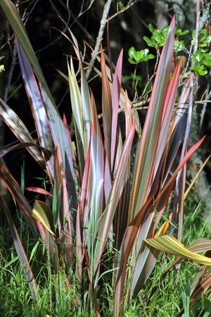 new zealand flax: Phormium Sundowner Flax