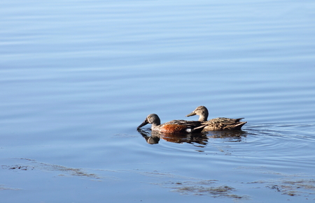a pair of: Pair of Shoveler Ducks