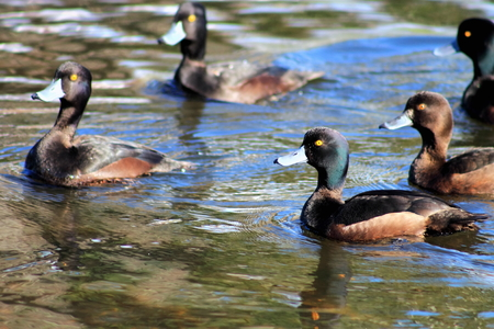 scaup: New Zealand Scaup