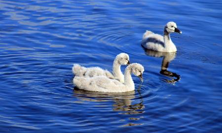 cygnus atratus: Three Black Swan Cygnets Stock Photo