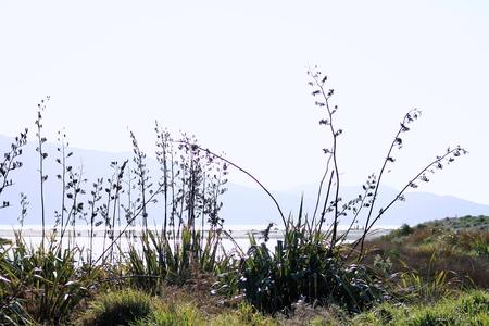 new zealand flax: New Zealand Flax in Flower