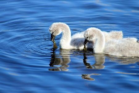 cygnus atratus: Black Swan Cygnets