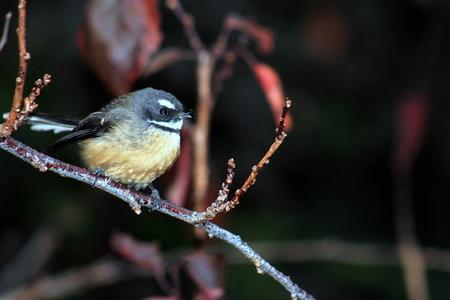 fantail: New Zealand Fantail