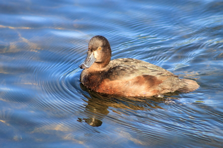 scaup: New Zealand Scaup female Stock Photo