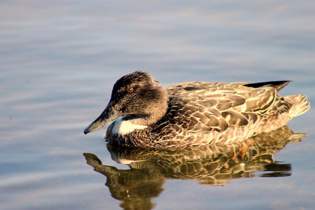 birdlife: Female Shoveler Duck