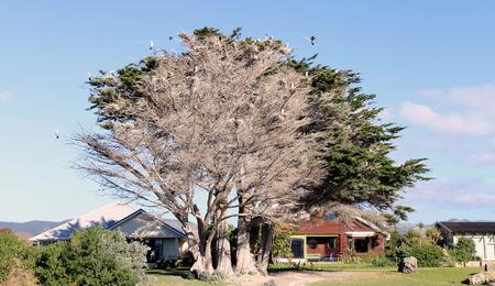 nesting: Pied Shags nesting in a Macrocarpa Tree