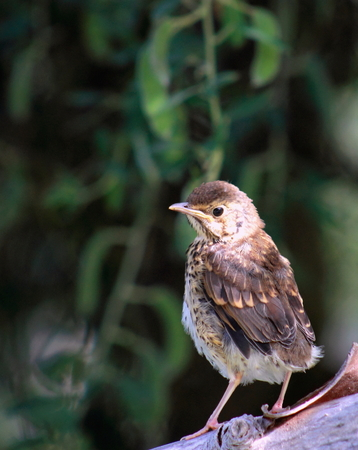 song: Song Thrush Fledgling Stock Photo