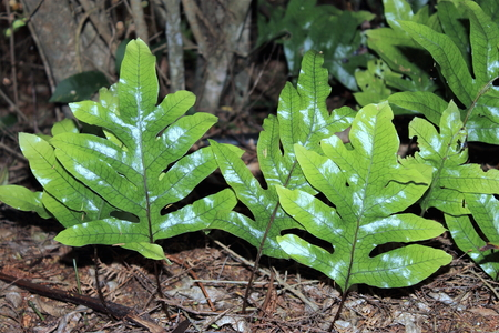 hounds: Hounds Tongue Fern Stock Photo