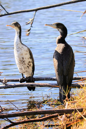 juveniles: A pair of juvenile Pied Shags Stock Photo