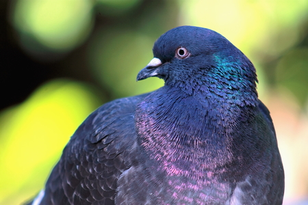 close up image: Close up image of a Pigeon Stock Photo