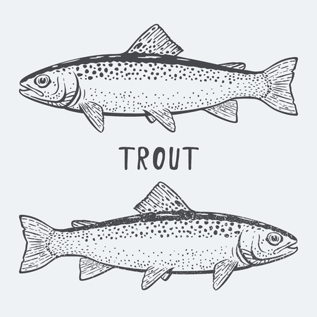 Trout fish illustration Illustration