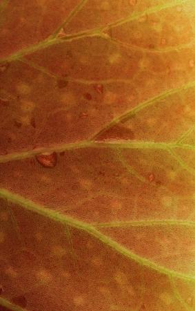 Royal begonia leaf texture, closeup Stock Photo - 16321483