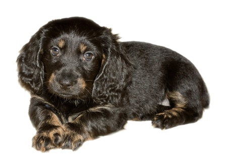 domestically: Dachshund puppy black, isolated on a white background Stock Photo