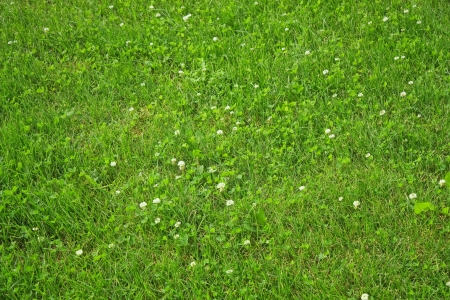textura:  texture lawn with green clover blossom Stock Photo