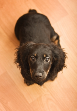 domestically: Dachshund puppy black, on the wooden floor Stock Photo