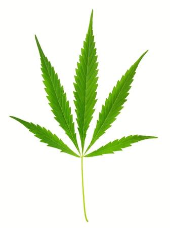 One hemp (marijuana) leaf isolated on white. Stock Photo - 16339824