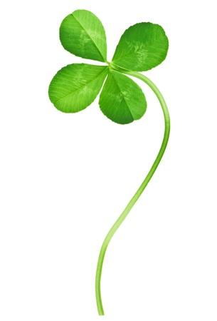 buena suerte: Trébol de cuatro hojas aislado en blanco