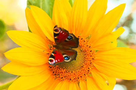 butterfly on bright yellow flower photo