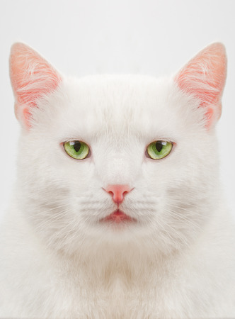 thick white cat with green eyes close up Stock Photo