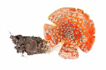 amanita: red amanita isolated on white background