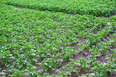 russet potato: Rows of young potato plants sprout in a field. Stock Photo