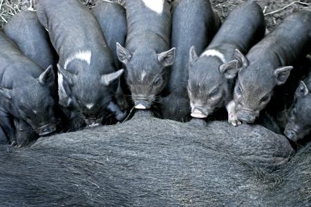 cerdo: Suckling Black Iberian Piglets (Cerdo negro)