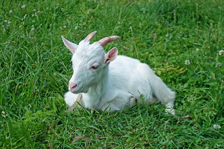 yeanling: white goat on the field in the village Stock Photo