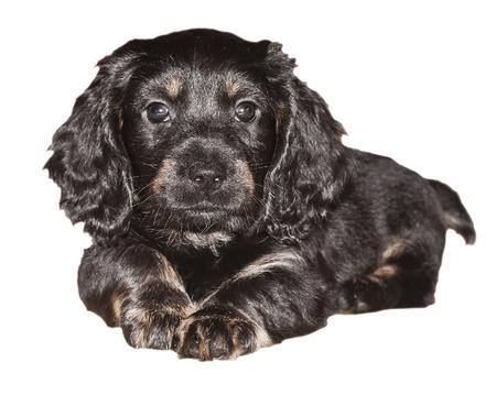 domestically: Dachshund puppy is black on white background