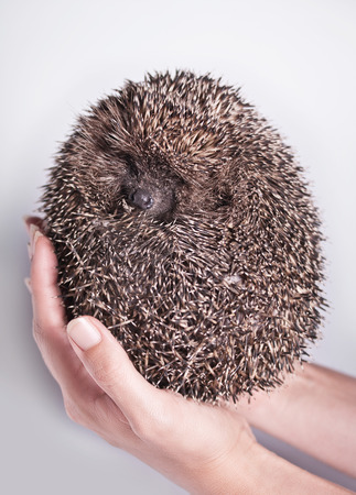 hedgehog in the hands of a white background with natural light photo