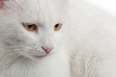 whiskar: thoughtful white cat close up shot