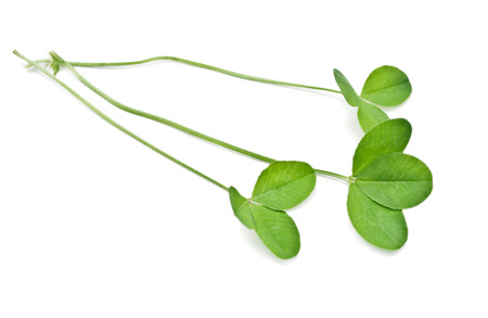 green clover isolated on white background photo