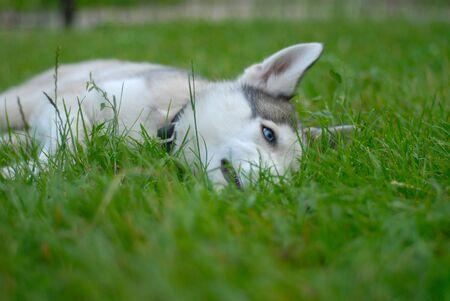 The reliable and loyal Siberian Husky, sled and working dog