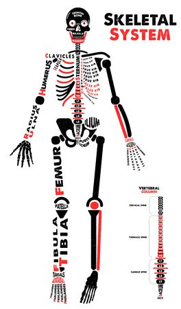 Skeletal System Poster. Didactic Board of Anatomy of Human Bony System. Vector Illustration. Çizim