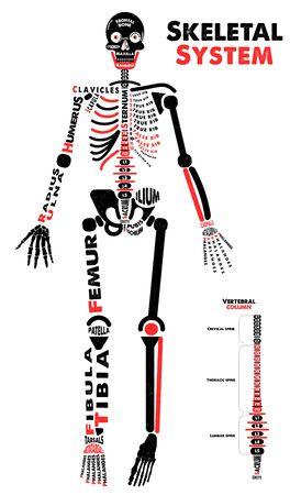 Skeletal System Poster. Didactic Board of Anatomy of Human Bony System. Vector Illustration. Illustration