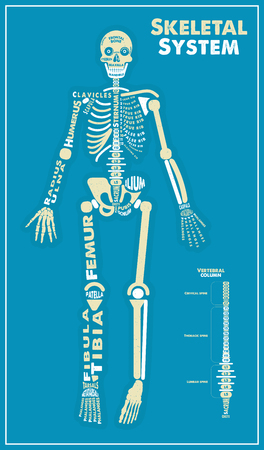 Skeletal System Poster. Vector Illustration
