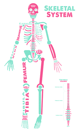 Skeletal System Poster. Vector Illustration Stok Fotoğraf - 124236400