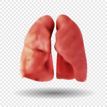 Healthy Human Lungs isolated on transparent background. human respiratory system. Realistic 3d vector illustration.