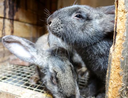 Rabbits in the farm