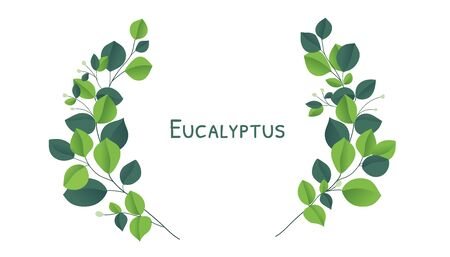 Eucalyptus silver dollar brunch. Beautiful decorative gum tree natural foliage.