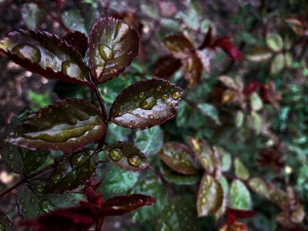 Beautiful nature background of vertical garden with wet dark green and red leaves with rain drops. Flat lay. Nature concept