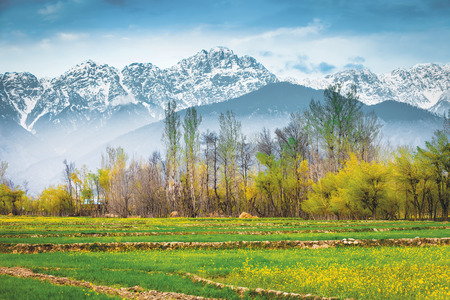 kashmir: The Mustard field with Himalaya background (Kashmir, India)