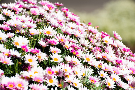 Heavily laden plant with white and pink flowers Stock Photo