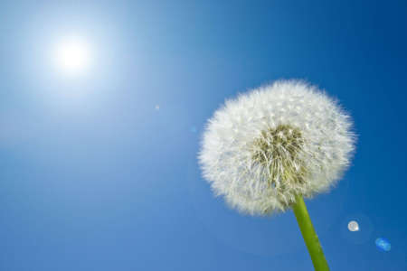 nice dandelion in the garden at springtime with sky in the background