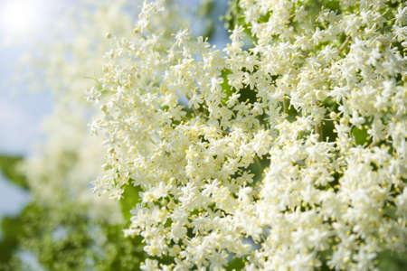 odorous: fresh elder in springtime in the garden