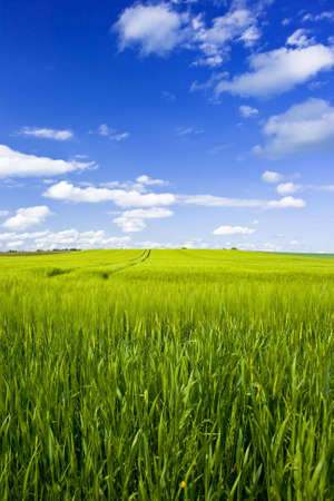 big grain field with blue sky and clouds