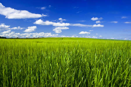 agricultural engineering: big grain field with blue sky and clouds