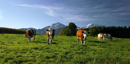 cows on pasture in bavarian landscape at autumn Stock Photo