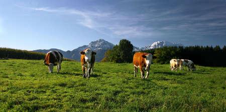 cows on pasture in bavarian landscape at autumn Standard-Bild